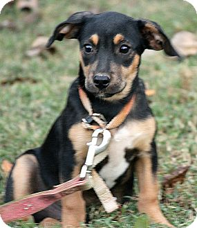 Black and Tan Coonhound Mix Puppy for adoption in Spring Valley, New York - Ollie