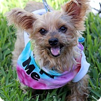 Adopt A Pet :: Scruffy - Ft. Lauderdale, FL