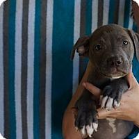 Adopt A Pet :: Cameo - Oviedo, FL