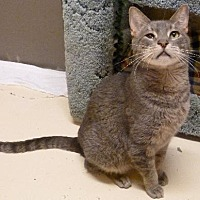 Domestic Shorthair Cat for adoption in Westville, Indiana - Chester