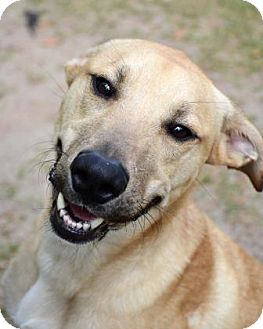 Retriever (Unknown Type)/Hound (Unknown Type) Mix Dog for adoption in Ridgeland, South Carolina - Gonzales