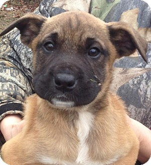 Boxer Mix Puppy for adoption in Somers, Connecticut - Cindy Lou