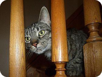 Domestic Shorthair Cat for adoption in Cambridge, Ontario - Bailey