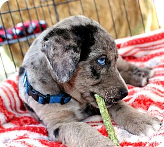 Catahoula Leopard Dog Mix Puppy for adoption in Houston, Texas - Dusty