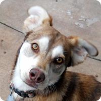 Adopt A Pet :: Koda - Oakley, CA
