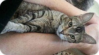 Domestic Shorthair Cat for adoption in Santa Ana, California - Sally