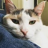 Domestic Shorthair Cat for adoption in New York, New York - Ava