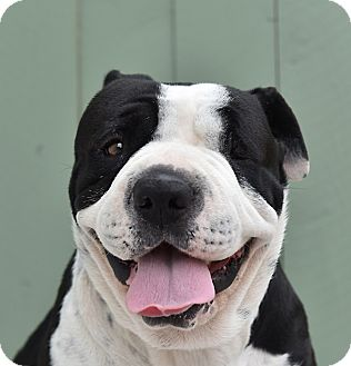 Shar Pei/American Bulldog Mix Dog for adoption in Los Angeles, California - Violet