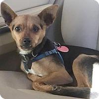 Chihuahua Mix Dog for adoption in Wichita, Kansas - Louis