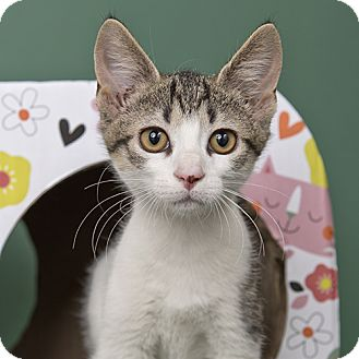 Domestic Shorthair Kitten for adoption in Wilmington, Delaware - Stuffing