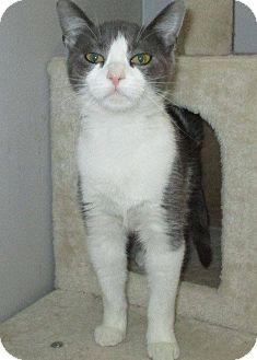 Domestic Shorthair Cat for adoption in Middletown, Ohio - Sprinkles