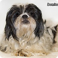 Shih Tzu Dog for adoption in Shamokin, Pennsylvania - Domino