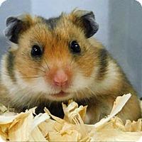 Adopt A Pet :: Ross - Topeka, KS