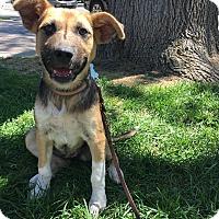 Adopt A Pet :: Ellie - Pleasanton, CA