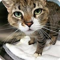 Adopt A Pet :: Soxs - Las Vegas, NV