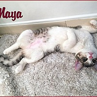 Adopt A Pet :: Maya - Sherman Oaks, CA