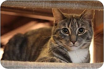 Domestic Shorthair Cat for adoption in Carlisle, Pennsylvania - Genavecia
