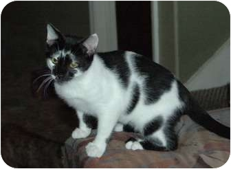 American Shorthair Cat for adoption in Chula Vista, California - Candy Kidd
