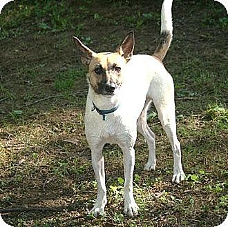 Jack Russell Terrier Dog for adoption in Columbia, Tennessee - Swish