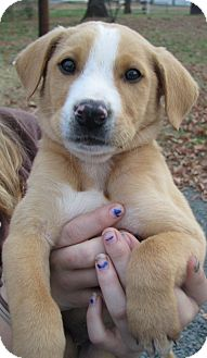Boxer/German Shepherd Dog Mix Puppy for adoption in Manchester, Connecticut - Frankie - ADOPTION PENDING
