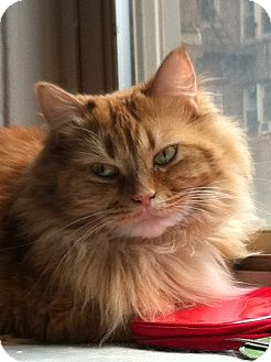 Domestic Longhair Cat for adoption in Brooklyn, New York - Sophie