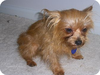 Yorkie, Yorkshire Terrier/Cairn Terrier Mix Dog for adoption in Jacksonville, Florida - Harry