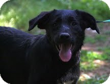 Border Collie/Labrador Retriever Mix Dog for adoption in Brattleboro, Vermont - Flint ($200 adoption fee)