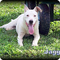 American Bulldog/Labrador Retriever Mix Puppy for adoption in Ararat, Virginia - Jagger