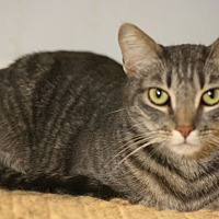Domestic Shorthair Cat for adoption in Canoga Park, California - Pecan