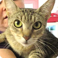 Abyssinian Cat for adoption in Reeds Spring, Missouri - Georgia