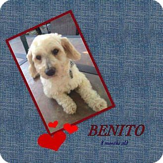 Poodle (Miniature) Mix Puppy for adoption in LAKEWOOD, California - Bentio
