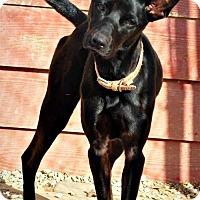 Adopt A Pet :: Pandora - Spartanburg, SC
