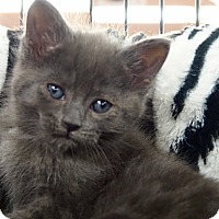Adopt A Pet :: Gandalf - River Edge, NJ