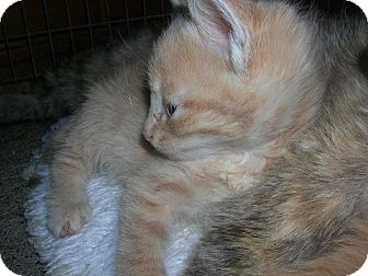 Domestic Shorthair Kitten for adoption in Yakima, Washington - Cream Tabby