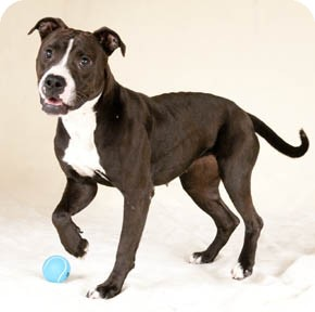 American Staffordshire Terrier/Pit Bull Terrier Mix Dog for adoption in Chicago, Illinois - Alana