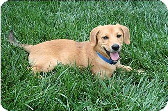 Golden Retriever Mix Dog for adoption in Richmond, Virginia - Molly