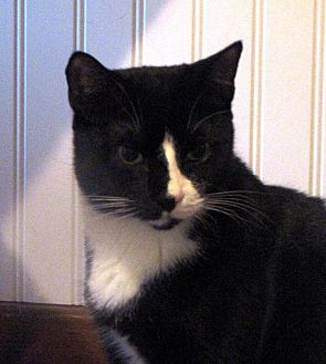 Domestic Shorthair Cat for adoption in Berkeley Hts, New Jersey - Stubs