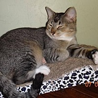 Domestic Shorthair Cat for adoption in Lawton, Oklahoma - IDA