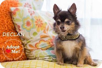 Chihuahua Mix Dog for adoption in Mesa, Arizona - Declan