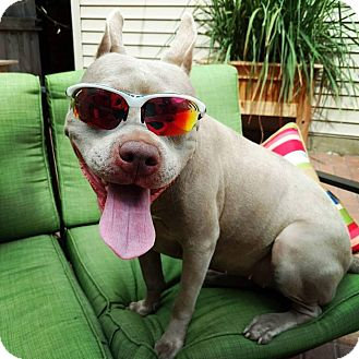 American Staffordshire Terrier/American Pit Bull Terrier Mix Dog for adoption in Chicago, Illinois - Lulu