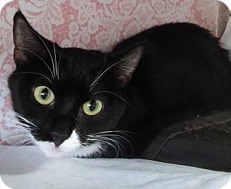 Domestic Shorthair Cat for adoption in Witter, Arkansas - Fiona (sister of Felicia)