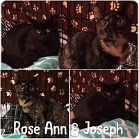 Adopt A Pet :: Joseph - Blasdell, NY