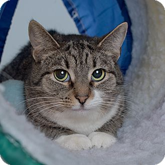 Domestic Shorthair Cat for adoption in Wilmington, Delaware - Jill