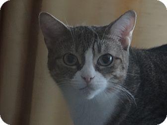 Domestic Shorthair Cat for adoption in Toronto, Ontario - Fifi