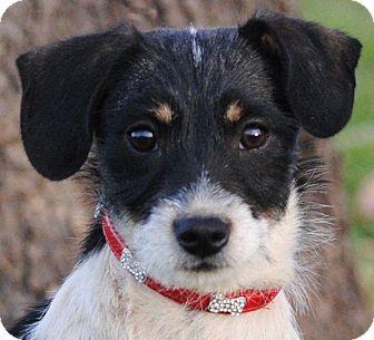 Cedartown, GA - Jack Russell Terrier/Dachshund Mix. Meet ...