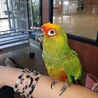 Adopt A Pet :: Picollo - Oceanside, CA