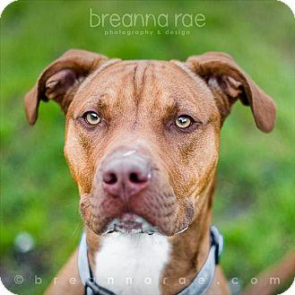 Pit Bull Terrier Mix Dog for adoption in Sheboygan, Wisconsin - Choppo