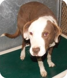 American Bulldog/American Pit Bull Terrier Mix Dog for adoption in Shirley, New York - Tommy