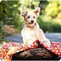 Adopt A Pet :: Sugar - Shawnee Mission, KS