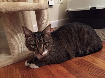 Domestic Shorthair Cat for adoption in New York, New York - Mr. Maya